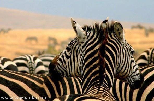 Dvoglava zebra - optička iluzija