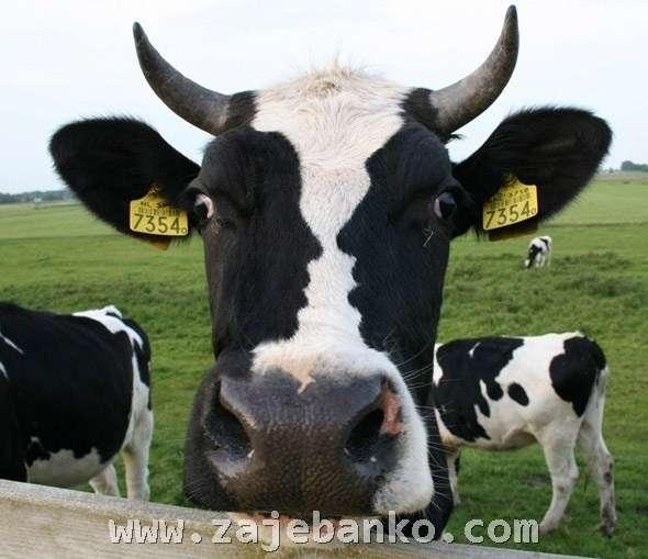 Neobična krava - optička iluzija