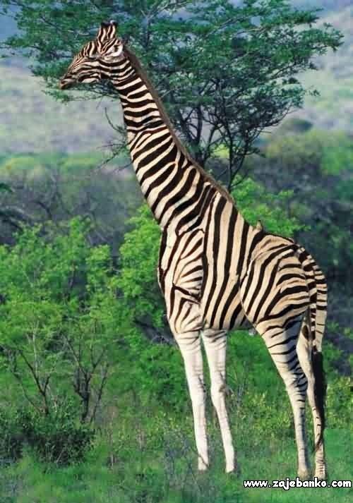 Zebra ili žirafa optička varka
