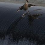 Smiješne optičke iluzije - patka surfer
