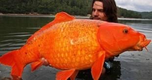 zlatna ribica vicevi