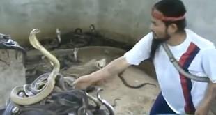 Gospodar zmija - neustrašiv krotitelj video
