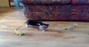 Mačka i gušteri - smiješni klipovi