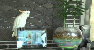 Papagaj pjeva i pleše Gangnam Style