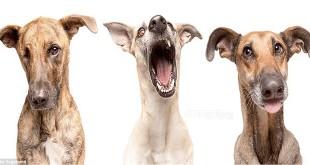 Pas se smije i pozira