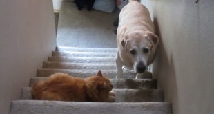 Psi koji se boje mačaka video