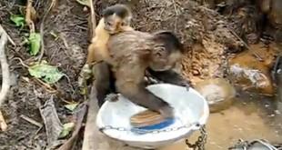 Slatki majmun video