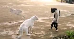 Smiješna kung fu mačka