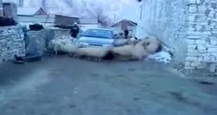 Kolo ovaca iliti tornado ovce