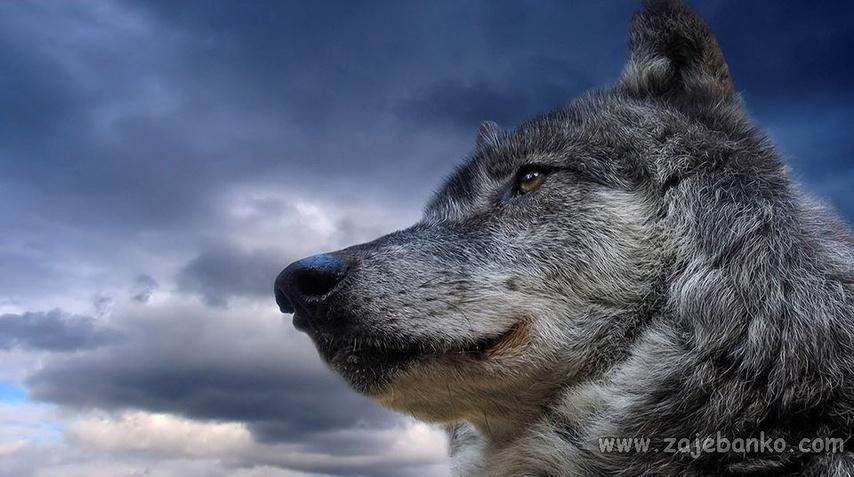 Najljepše slike divljih životinja - vuk