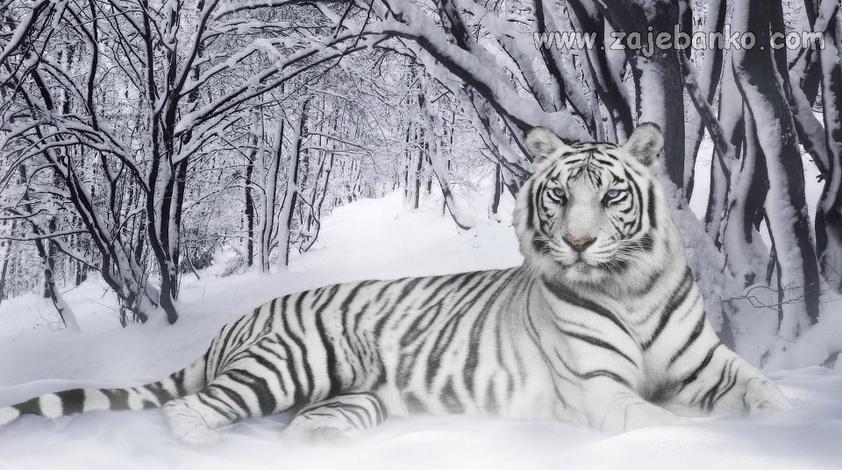 Fotografije divljih životinja - sibirski tigar