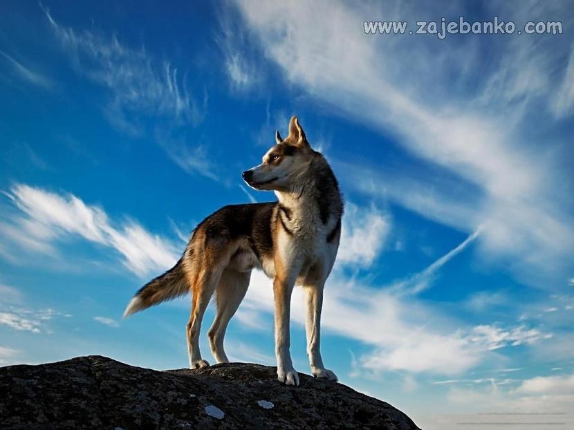 Slike iz carstva divljine - vuk