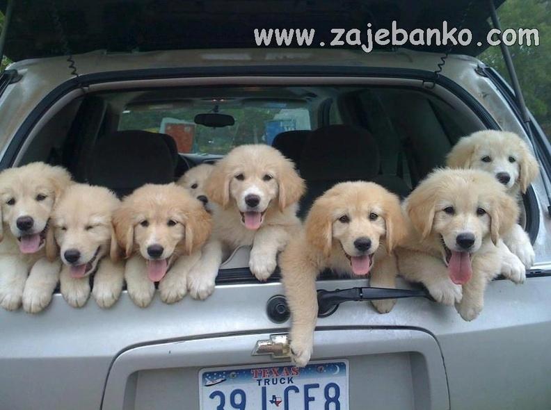 Umiljati štenci zlatnog retrivera
