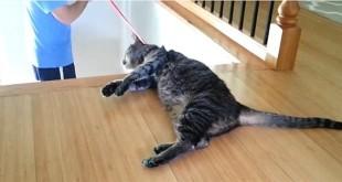 Svojeglava mačka smiješni video klip
