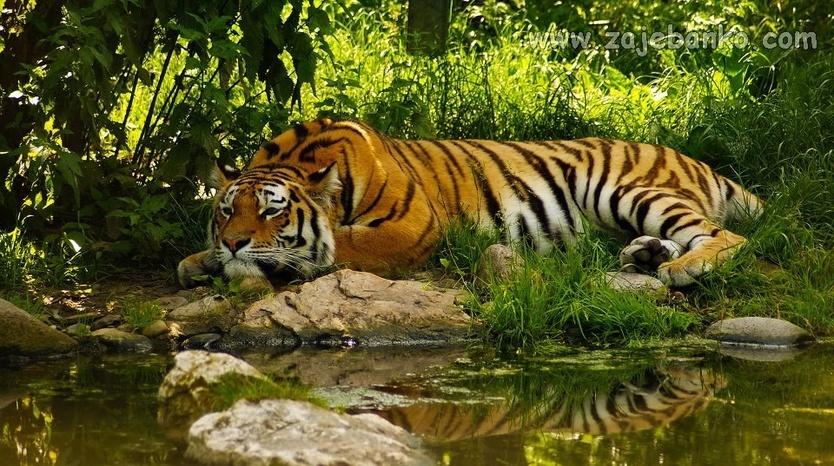 Fotografije divljih životinja - tigar