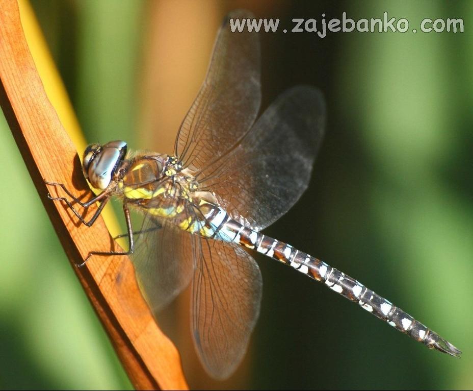 Čaroban svijet kukaca - dražesna vretenca