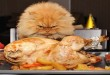mrzovoljna perzijska mačka