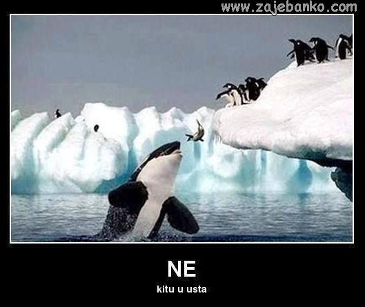 kit i pingvini