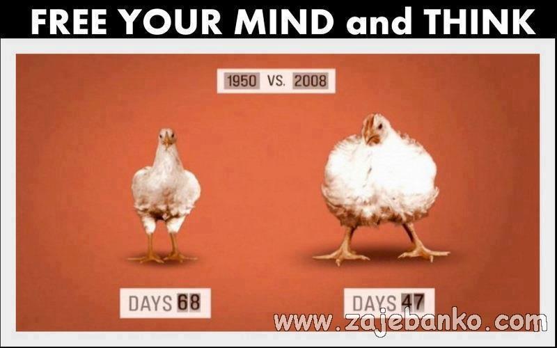 smiješne kokoši