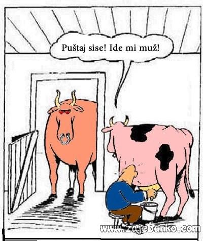 krava i bik