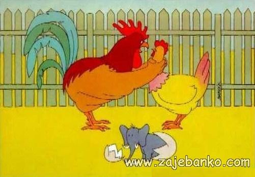 Smiješne slike - kokoši