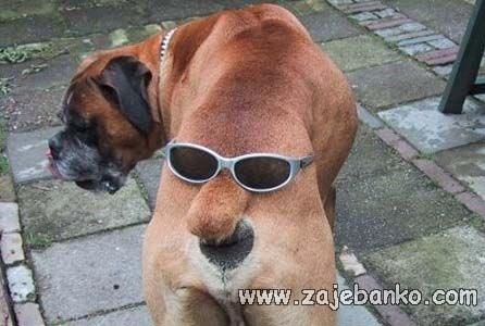 Smiješne slike pasa - pas sa sunčanim naočalama