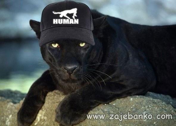 Smiješne slike životinja - puma s ljudskom kapom