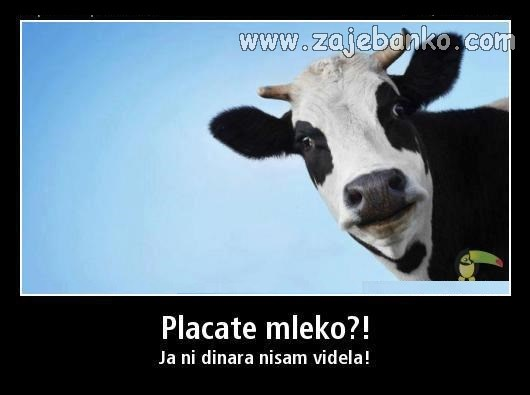 Smiješne slike životinja - krava daje mlijeko
