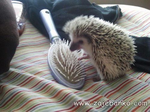 Smiješne životinje - jež i češalj