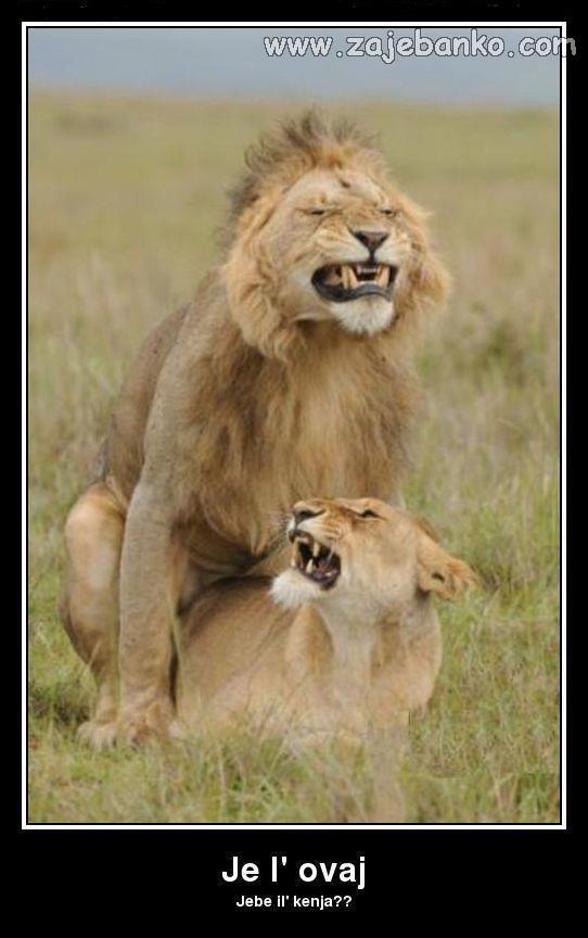Smiješne životinje - lav i lavica