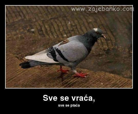 Životinje best off - golub
