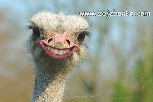 Životinje smijeh - noj