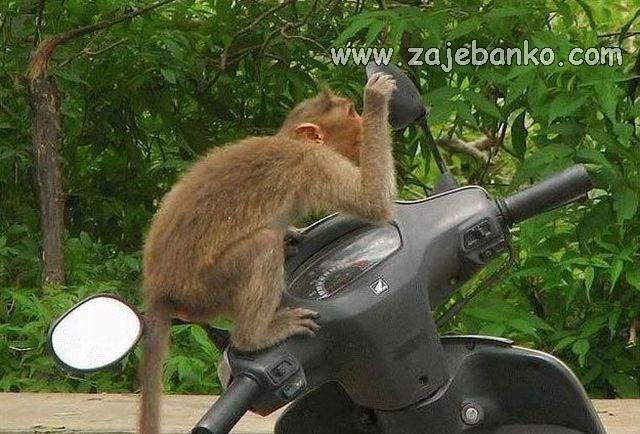 Životinje smijeh - majmun se gleda u ogledalo