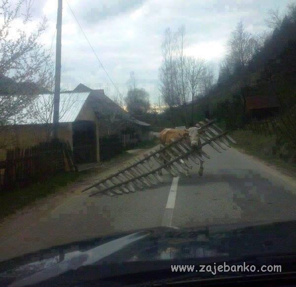Životinje smiješne slike - krava srušila ogradu