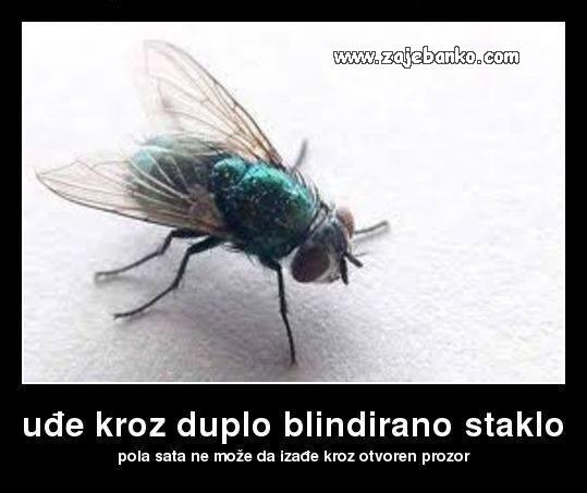 Smiješna muha - ne izlazi kroz otvoren prozor