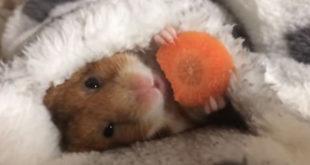 doručak u krevetu za malenog hrčka