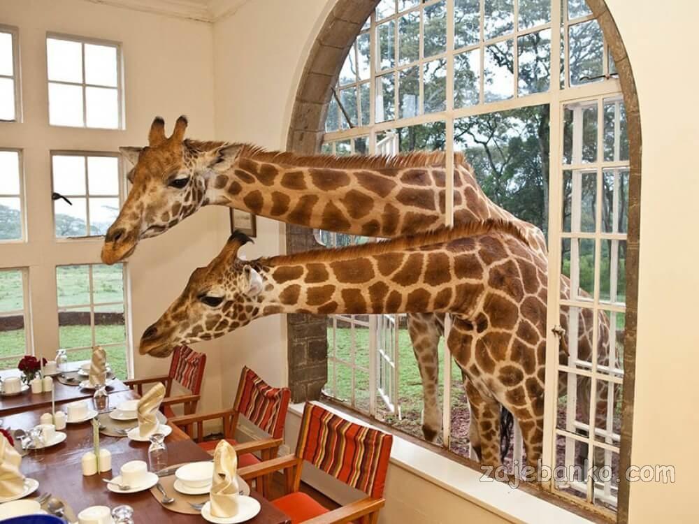 giraffe manor kenija