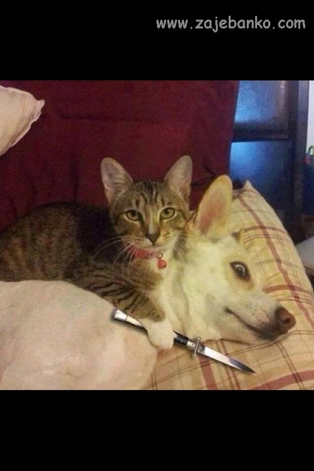 mačka ubija psa